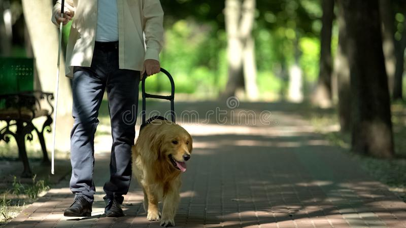 guide dog walking on pavement
