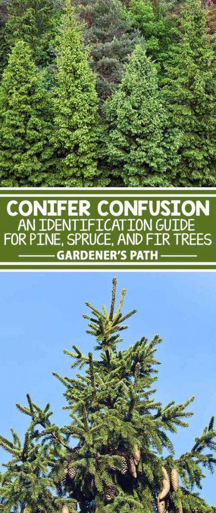 fir tree identification guide